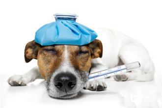 狗狗口含温度计