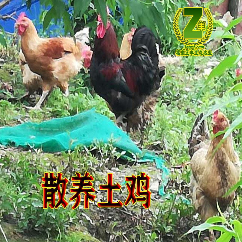 散养土鸡.jpg