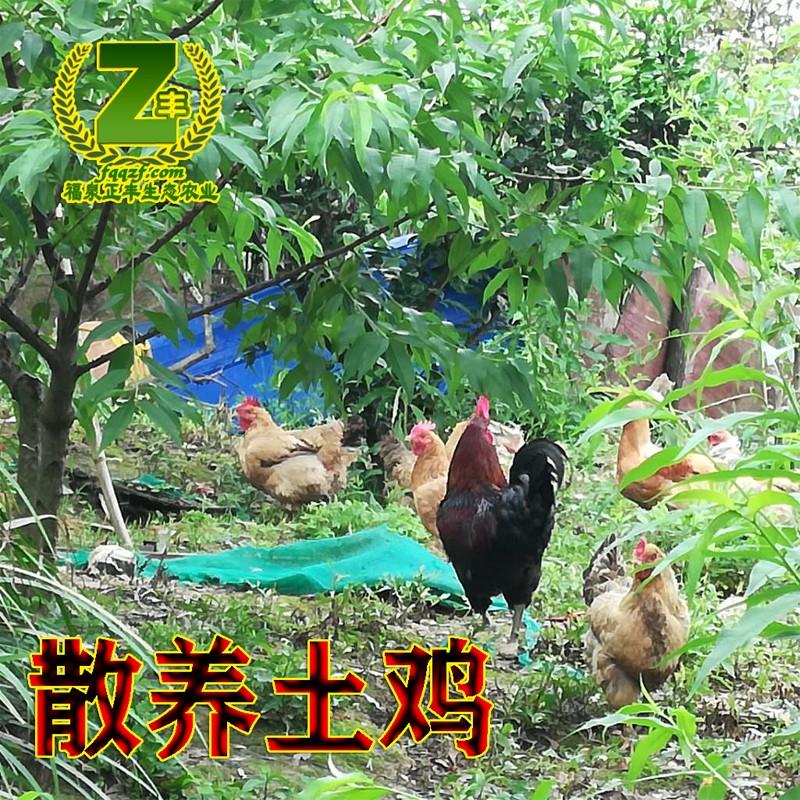 散养土公鸡1.jpg