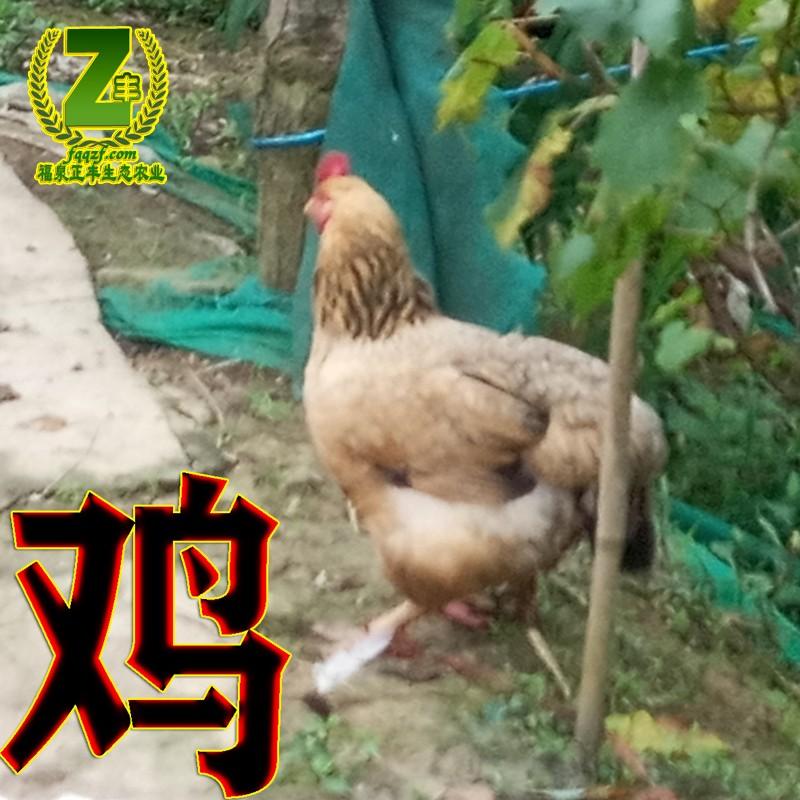 土母鸡1.jpg