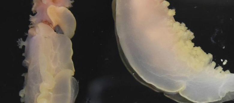 """科学""""号在西太平洋采集到稀有深水海兔[组图]"""