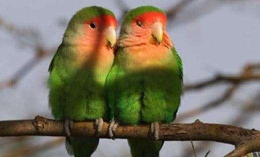 爱情鸟.jpg