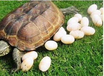 龟蛋.jpg