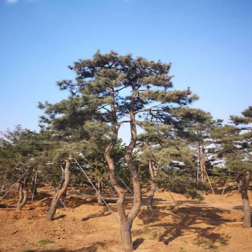 工程用松树