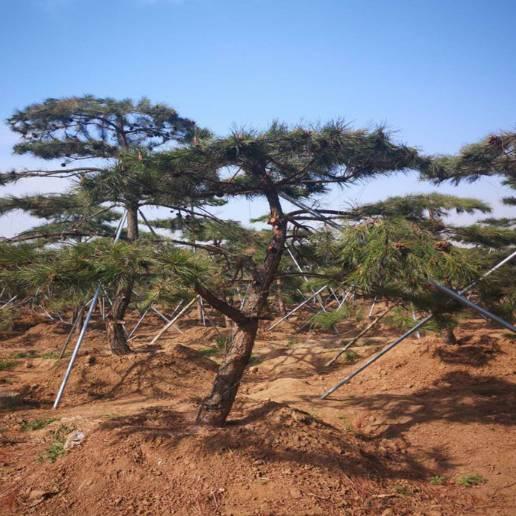 工程绿化松树