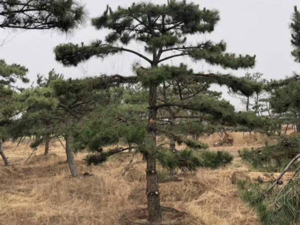 山东黑松盆景