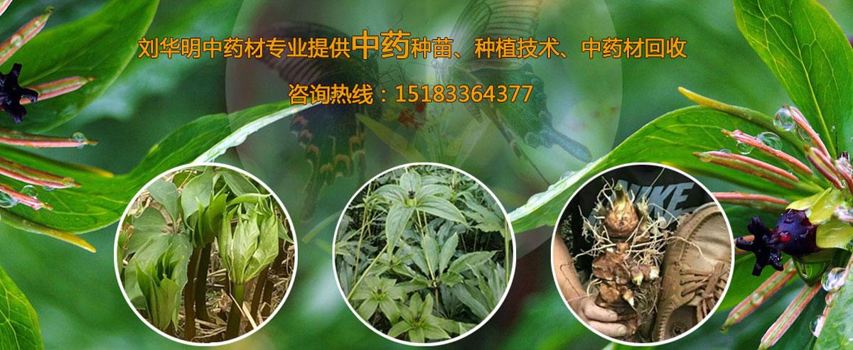 峨眉山市刘华明中药材--重楼苗、金果榄苗、三七苗、白芨苗