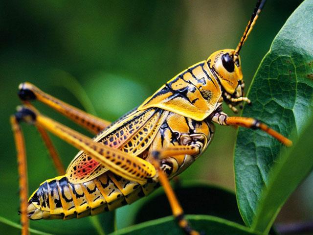 宽翅曲背蝗 罪恶的蝗虫1.jpg