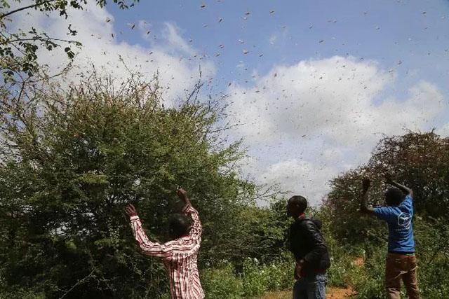 肯尼亚姆温吉北部,农民试图吓跑农场里的蝗虫.jpg