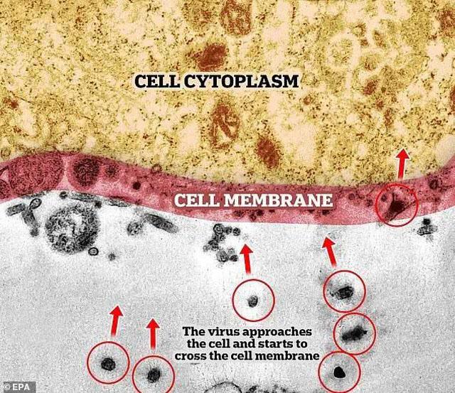 病毒接近细胞并开始穿过细胞膜.jpg