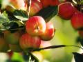 童年味道的红果儿,乐都沙果,青海省海东市乐都区碾伯镇