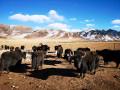最古老的牦牛,类乌齐牦牛肉,西藏自治区昌都市类乌齐县长毛岭乡