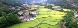 航拍湖北省宜昌市夷陵区分乡镇境内万亩稻田扮美乡村田园农家的大美风景。
