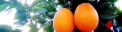 橙黄橘红正当时,奉节草堂脐橙