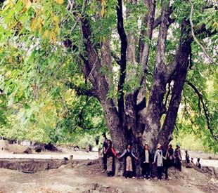 西藏千年核桃林