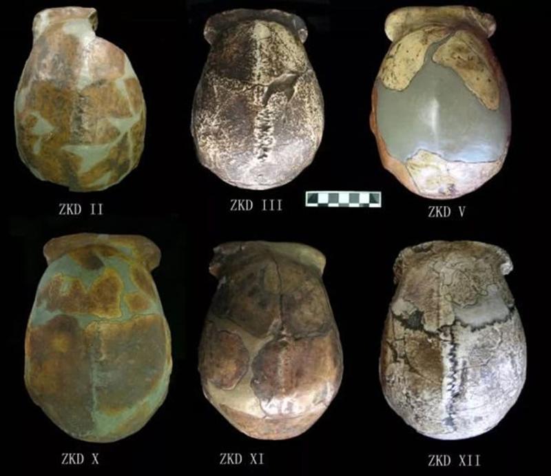 北京猿人头盖骨发现90周年:北京猿人生活的时间距今多少年 丢失的化石在哪里?