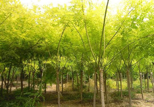 国槐苗木的移植方法