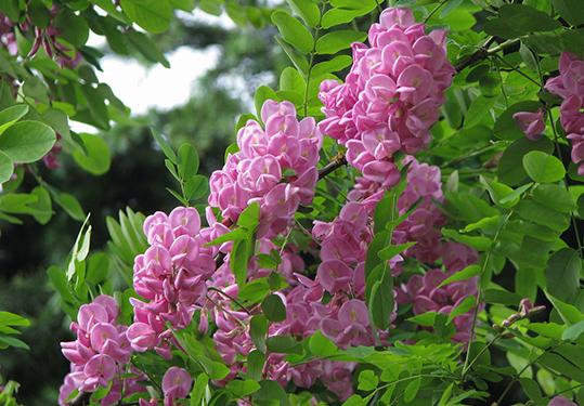 香花槐的栽培方法