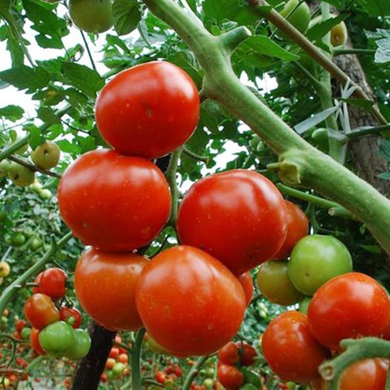 西红柿.jpg
