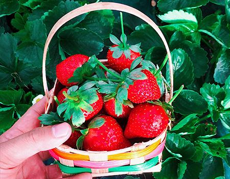 草莓的營養價值