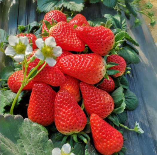 適當吃草莓有什么好處?