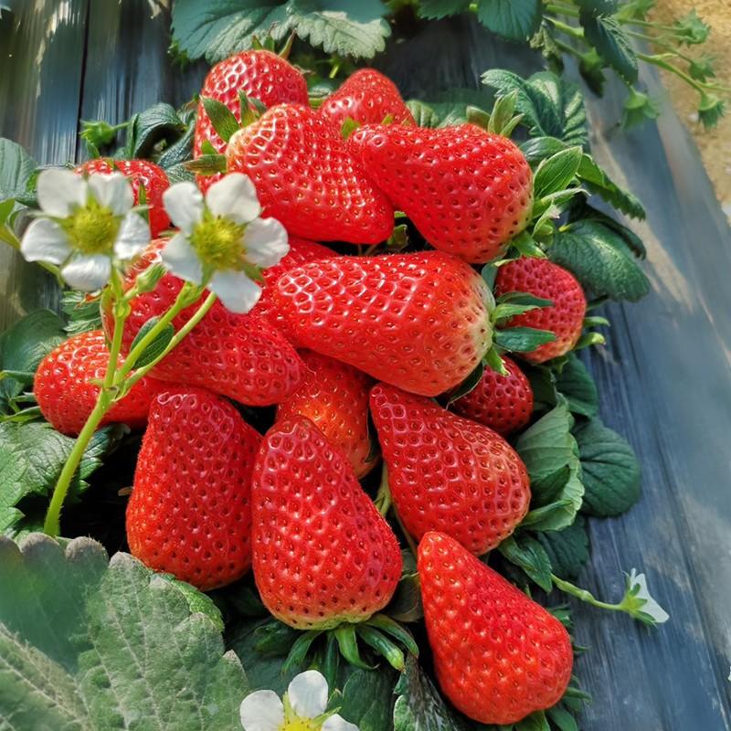 草莓采摘-淄博中鵬農業發展有限公司