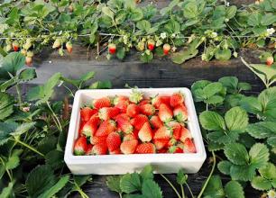 草莓采摘-淄博中鹏农业发展有限公司