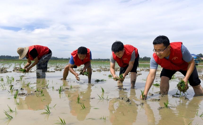 2020年8月2日,安徽省六安市裕安区罗集乡党员先锋队的志愿者在帮助群众补栽秧苗.jpg