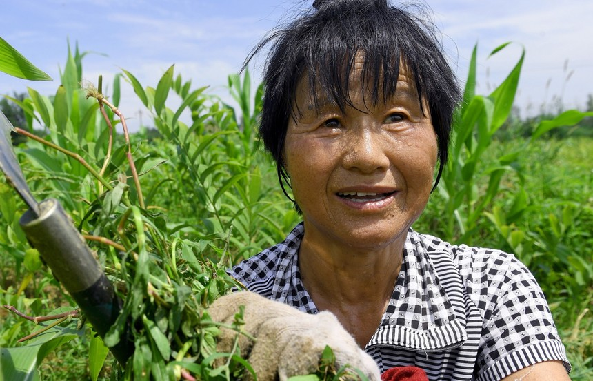2020年8月2日,安徽省六安市裕安区罗集乡杨公村65岁的村民张选珍冒着高温在清除中草药基地里因洪水浸泡滋生的杂草.jpg