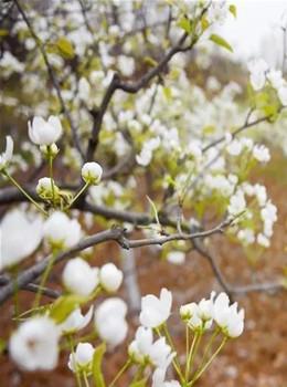 烟花三月下洋州,万亩梨花正盛放!