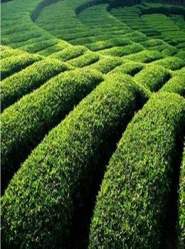 茶园嫩绿,茶波涌动