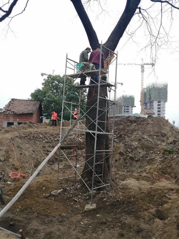 勉县开展古树复壮救治工作.png