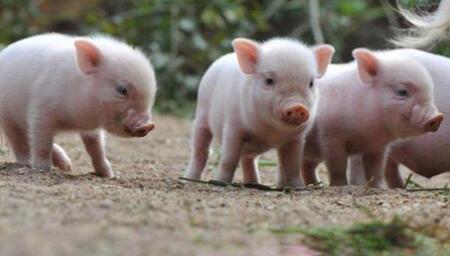 养猪.jpg