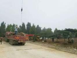 上海造型松园林施工