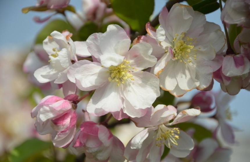重瓣西府海棠的花朵