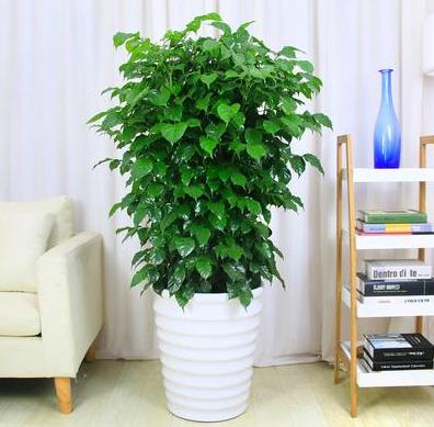 办公室里的幸福树要怎么养,怎么才能养好?