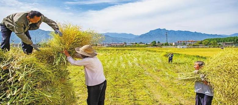 秦岭脚下村民喜收油菜籽