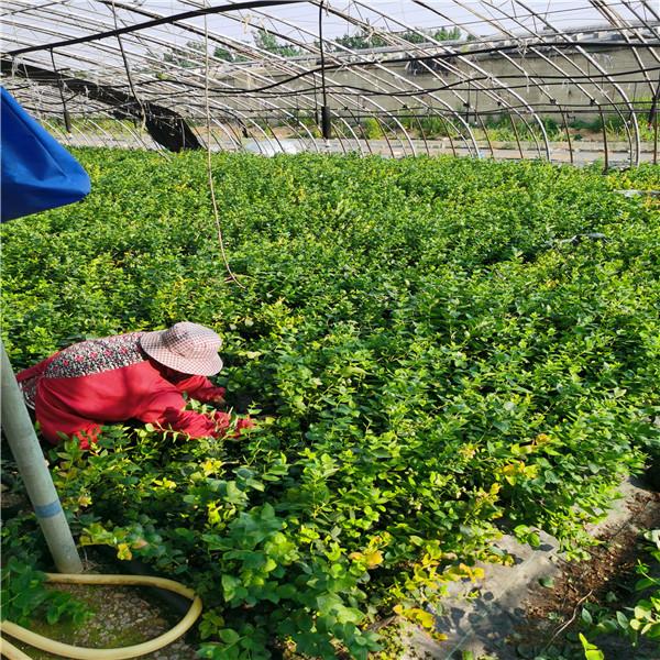 蓝莓苗基地 (2).jpg