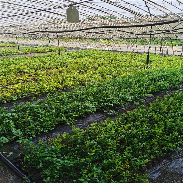 蓝莓苗基地 (1).jpg