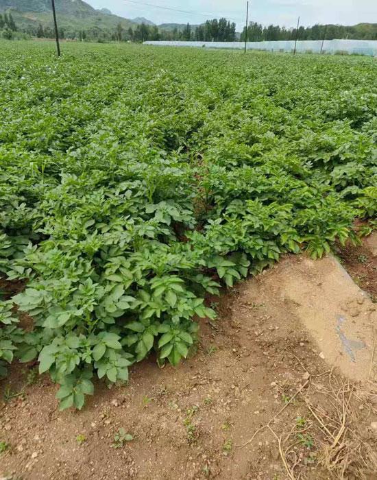 薯農樂農場4-700.jpg
