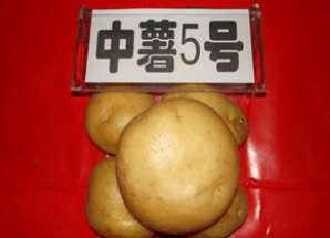 中薯5号.jpg