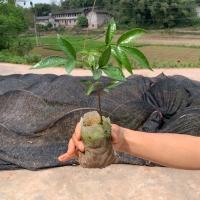 九叶青花椒花椒产区价格四块一斤,是不是花椒市场饱和了?