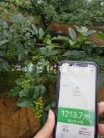 九叶青花椒苗适应海拔高度对比试验(基地实图),耗时五年,得出最终有说服力的数据,重庆江津树祥农业公司为广大椒农解决各大难题