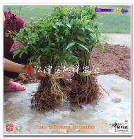青花椒基地建设预算,种植青花椒第一年投入多少?前三年投入多少?