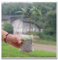 批发青花椒营养袋苗,预定2020年青花椒苗袋苗