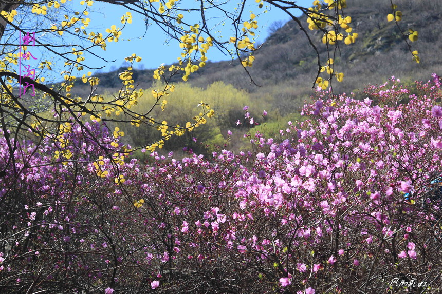 喇叭沟门杜鹃花,喇叭沟门春天看什么花