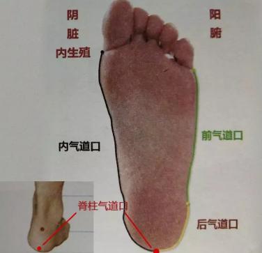 足底部赤白肉际处的气道口.png
