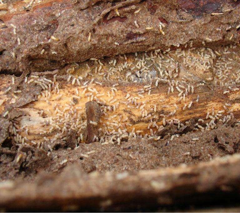 柳州专业灭虫公司教您如何防治白蚁