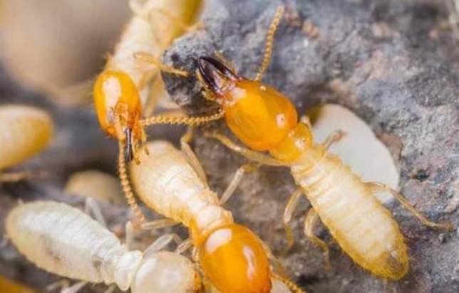 柳州康诺虫控-白蚁防治的一些常规知识