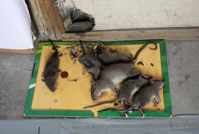 柳州上门消灭老鼠公司